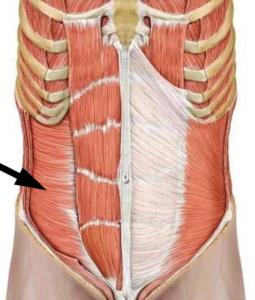 Поперечная мышца живота