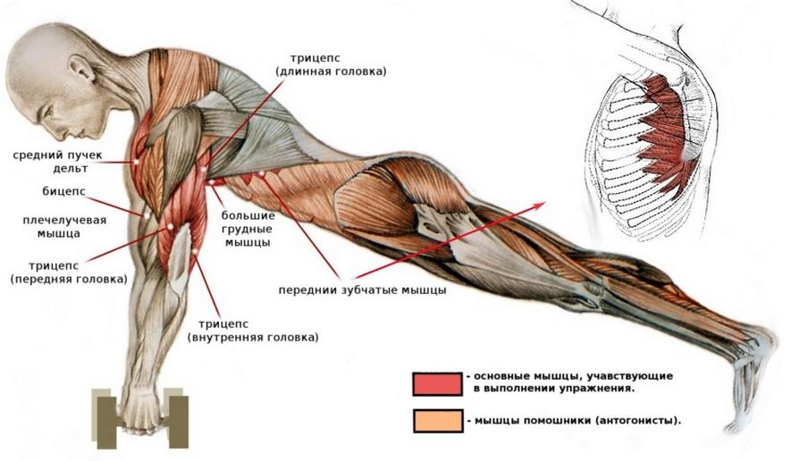 Какие мышцы работают при глубоких отжиманиях