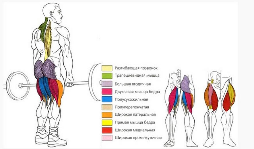 Мышцы, работающие в становой тяге в смите