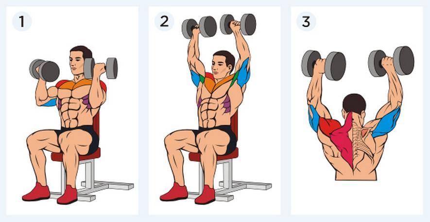 Какие мышцы работают в жиме Арнольда сидя