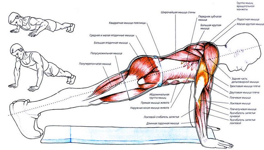 Какие мышцы активны при отжиманиях?