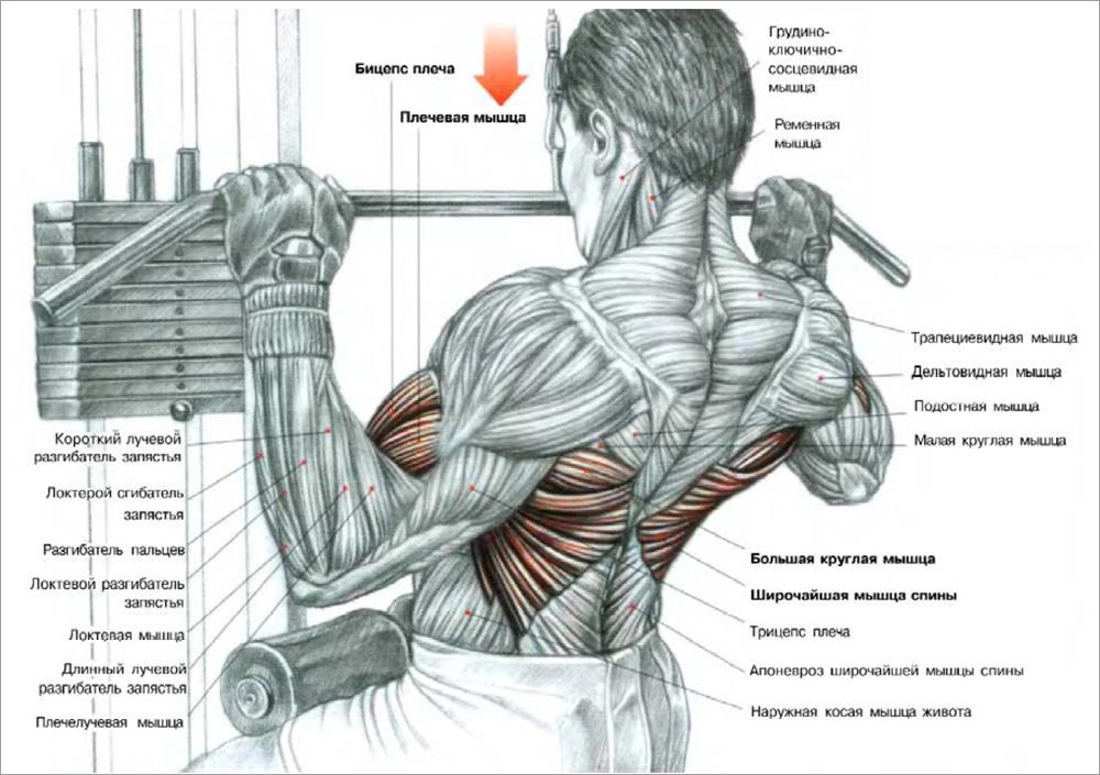 Работающие мышцы в тяге верхнего блока широким хватом