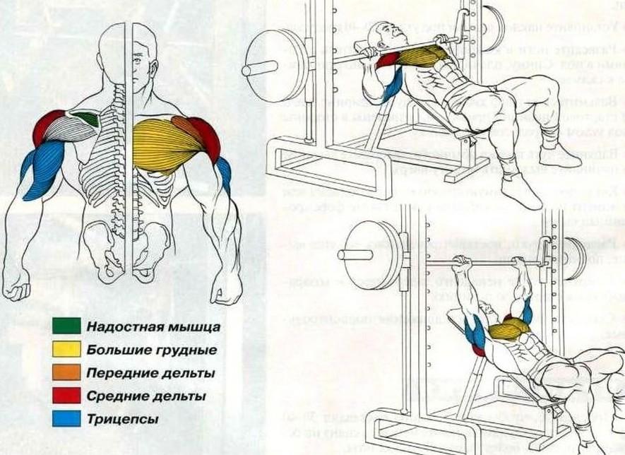 Мышцы работающие в жиме лежа в смите