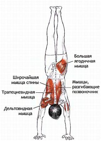 Какие мышцы работают при вертикальных отжиманиях