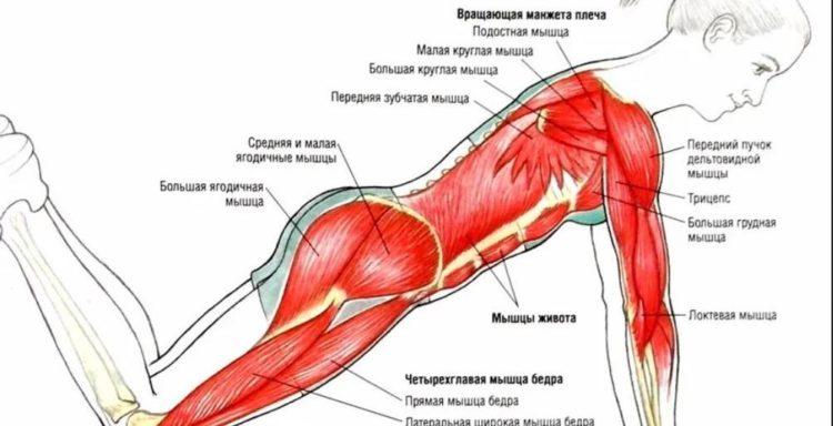Мышцы задействованные в отжиманиях на коленях