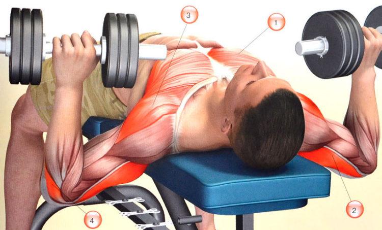 Какие мышцы задействованы в жиме гантелей лежа
