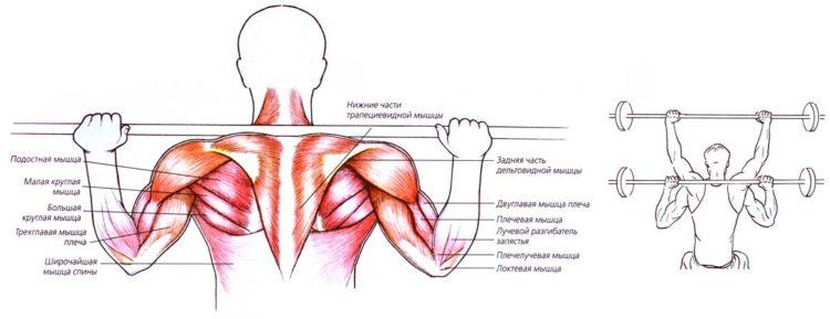 Мышцы задейстованные в жиме штанги за голову