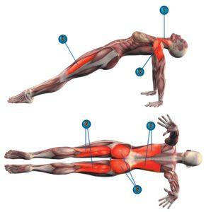 Мышцы задействованные в обратной планке