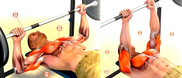 Мышцы задействованные в жиме штанги лежа от груди