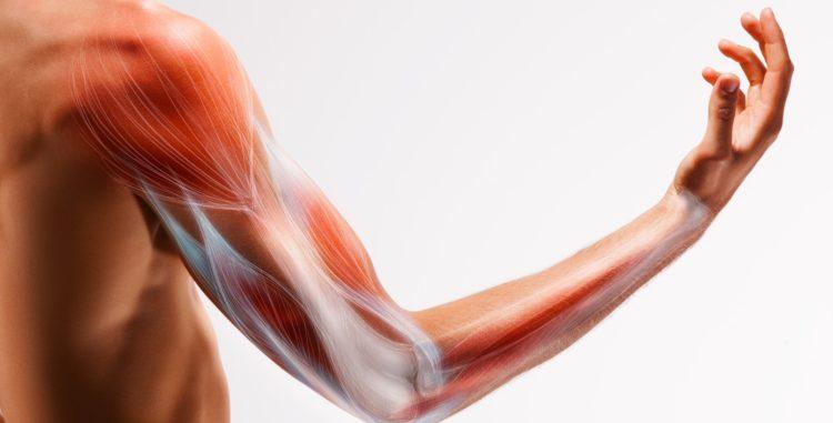 Образование молочной кислоты в мышцах