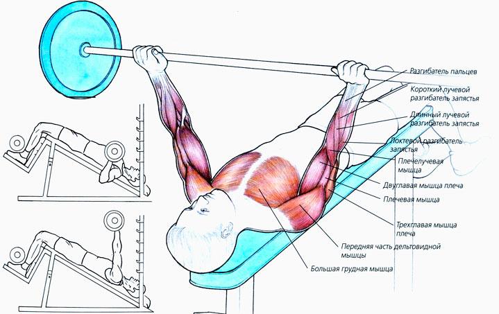 Мышцы задействованные в жиме штанги вниз головой