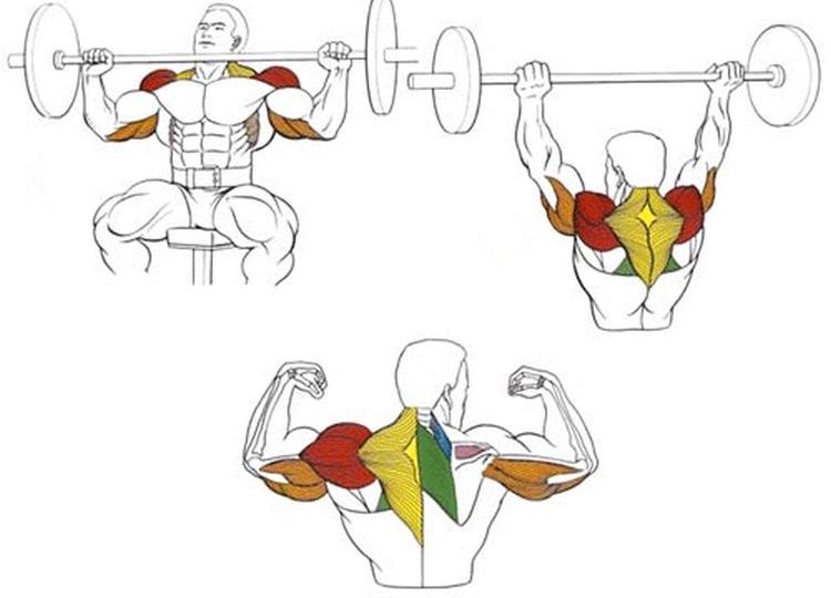 Какие мышцы задействованы в жиме штанги сидя