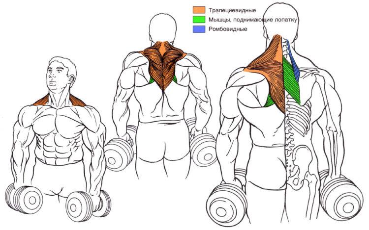 Мышцы задействованные в шрагах с гантелями