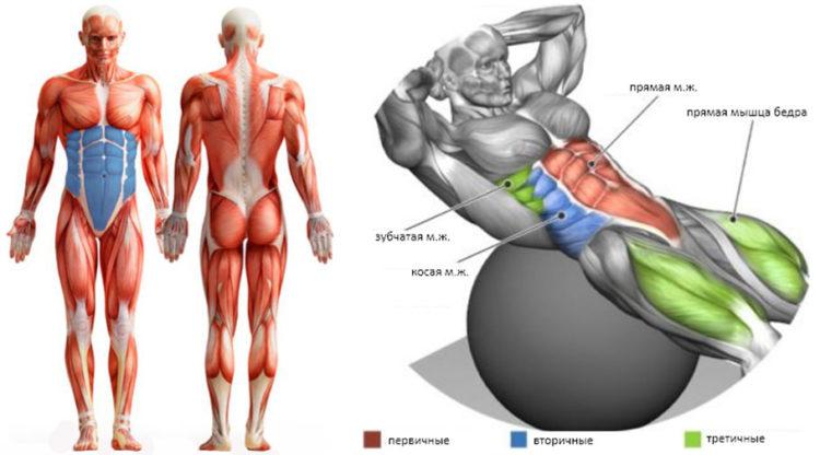 Мышцы задействованные в скручивании на фитболе