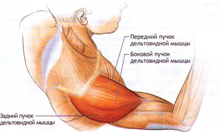 Из чего состоит дельтовидная мышца