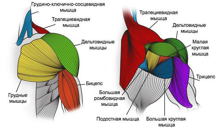 Анатомия плечевого пояса